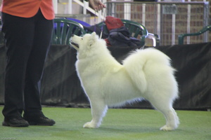 20130630 National Samoyed Show - Bulla-Victoria  170 of 310