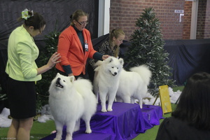 20130630 National Samoyed Show - Bulla-Victoria  174 of 310