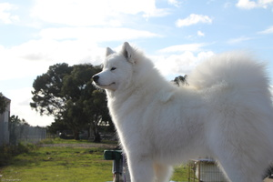 20130630 National Samoyed Show - Bulla-Victoria  292 of 310