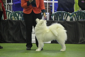 20130630 National Samoyed Show - Bulla-Victoria  301 of 310
